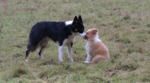 pup introduceren bij andere hond