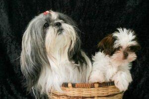 Hoe introduceer je je nieuwe puppy bij je andere hond?