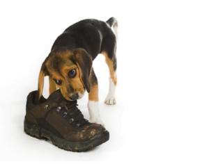 puppy bijt aan schoen