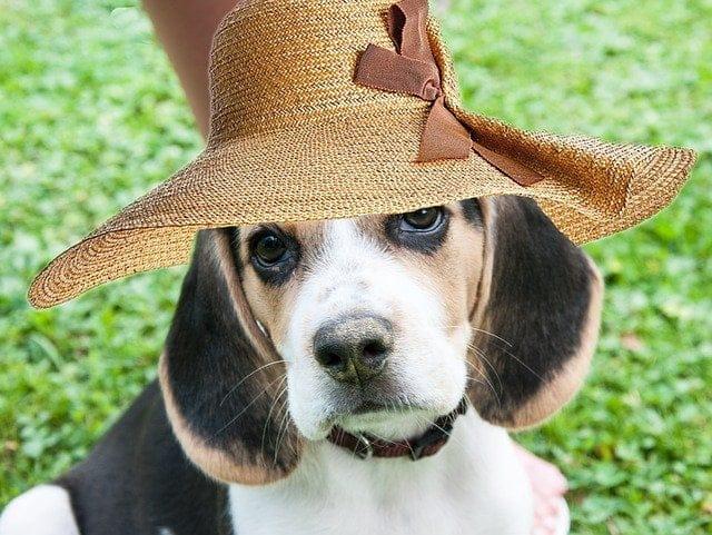 grappige Beagle foto
