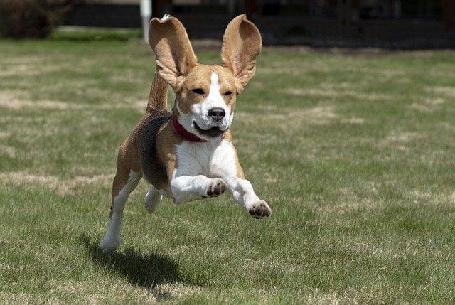 Karakter Beagle