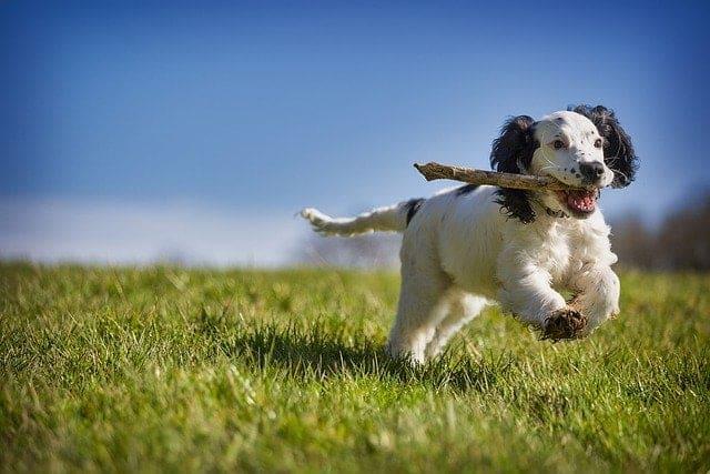 Hond rent met stok