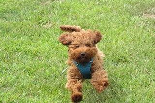 springende labradoodle pup