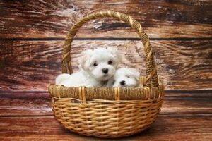 twee maltezer puppies in een mandje