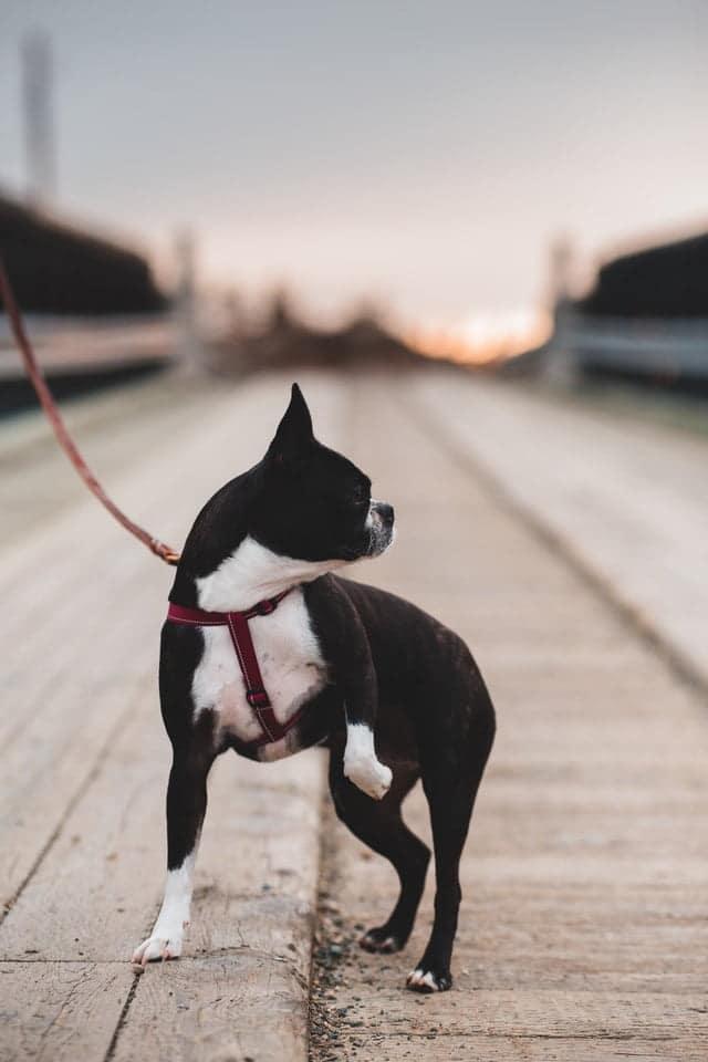 Hond trekt aan de riem