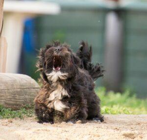 Blaffend hondje