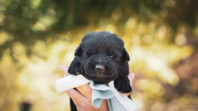 Hondenras de Labrador Retriever