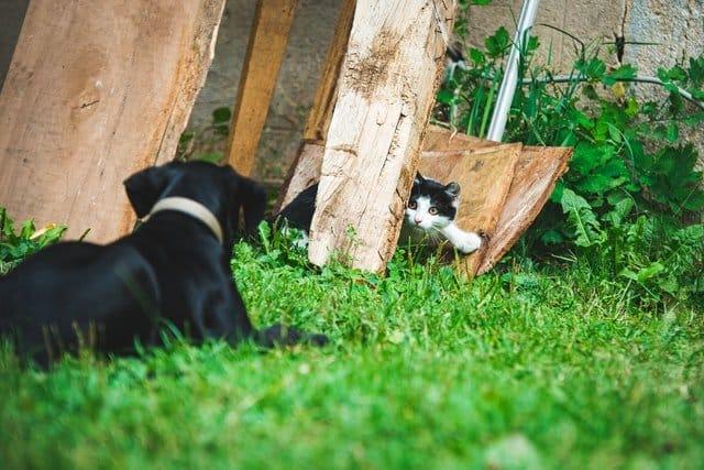 Chihuahua Rasbeschrijving en Karakter