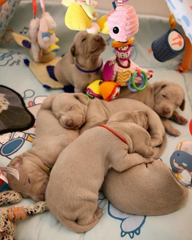 puppy cursus online