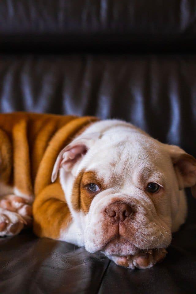 rustige hond
