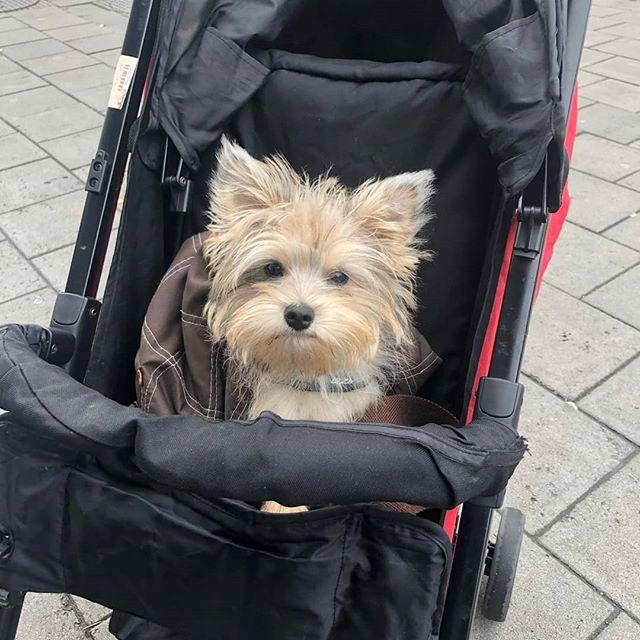 Bange hond in wandelwagen