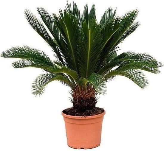 Sago palm giftige kamerplant voor honden