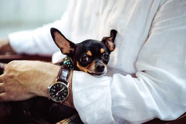 chihuahua op arm van baasje
