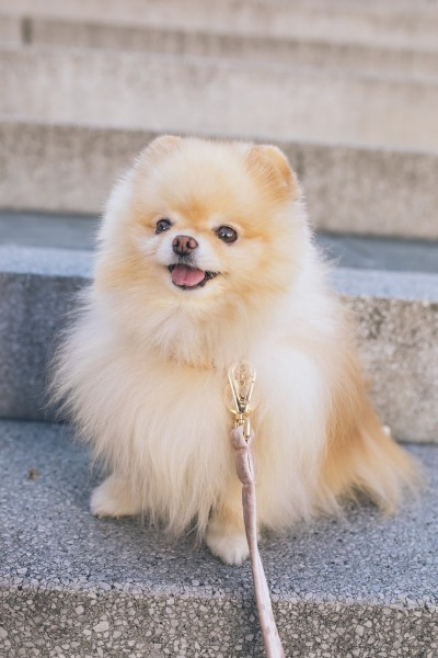 zittende pomeriaan pup
