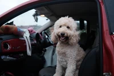 Blije hond in de auto