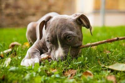 Amerikaanse Stafford pup met stok