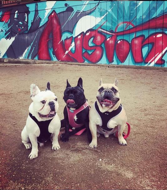 De nr.6 Honden van beroemdheden: De 3 franse Bulldogs van Lady Gaga