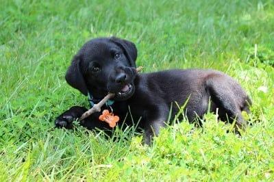 puppy eet stenen