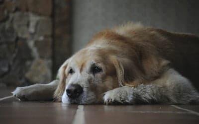 oudere hond liggend